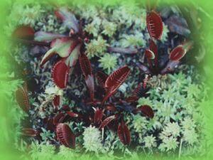 dionaea_royal_red